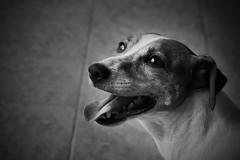 Mouzie - Handsome Jack Russell (hanks studio) Tags: dog jrt jackrussellterrier handsomeboy cutepuppy memorykeeper hanksstudio mouzie hanks55
