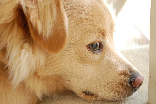 golden retriever mixed with chihuahua. he is a golden retriever