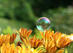 Housing Bubble (Mukumbura) Tags: flowers brown house reflection green home nature garden fun gold soap distorted sphere surprise bubble frustrating soapbubble osteospermum surfacetension natureselegantshots thehousingbubble summertimeuk
