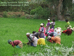 Paddy Harvest in Tamil Nadu