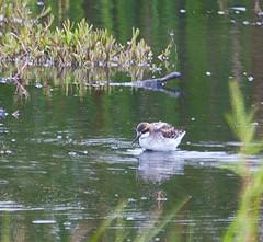 IMG_7713 I am a widdle bird (straycat2009) Tags: red river bottom salinas phalarope necked slbwading whitepelicanmosslanding