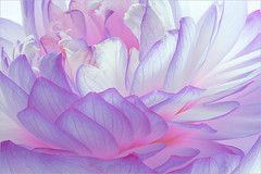 Purple Lotus Petals / lotus_Petal - Flower Macro - IMG_4695 (Bahman Farzad) Tags: flower macro petals lotus lotusflower lotuspetal lotuspetals purplelotusflower theperfectpinkdiamond lotusflowerpetals lotusflowerpetal