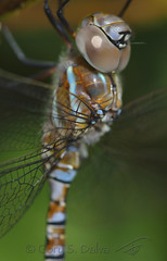 Dragonfly (Cory Dalva) Tags:
