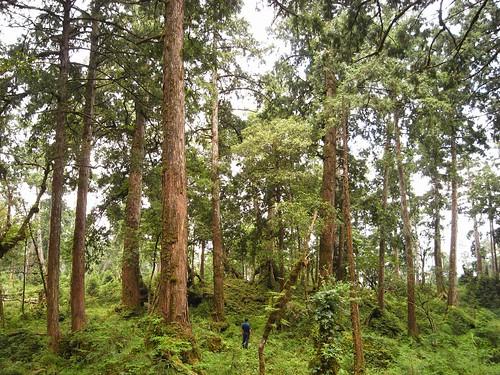台灣仍保有全世界最大面積的原始檜木林。圖片來自:農委會林務局。