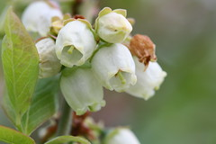 Aspiring blueberries (sezohanim) Tags: flowers white macro home garden spring blueberry iek naturesfinest canon100mm theunforgettablepictures yabanmersini