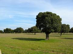 Encina II / Holm Oak II (ajgelado) Tags: shadow espaa tree canon landscape arbol oak spain meadow sombra paisaje powershot pasture salamanca dehesa holmoak encina a710 treesubject asrvoresmorremdeptreesdiestandingup gettyimagesiberiaq3