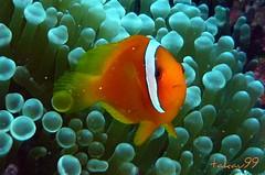 Tomato Anemonefish in Okinawa, Japan (_takau99) Tags: ocean trip travel sea vacation holiday fish uw nature water topv111 japan lumix japanese topv555 topv333 marine asia underwater topv1111 topv444 scuba diving topv222 september panasonic pacificocean clownfish tropical  scubadiving okinawa  topf10 topf15 anemonefish 2007 kerama  topf5  philippinesea fx30 eastchinasea amphiprion frenatus tomatoclownfish amphiprionfrenatus takau99 pomacentridae tomatoanemonefish dmcfx30 dmcfx goldstaraward sawasdeedive