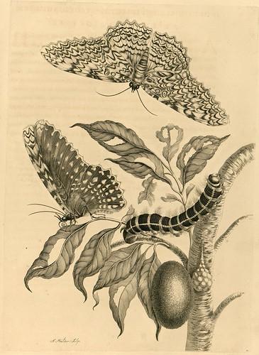 Metamorphosibus Insectorum Surinamensium (p50)