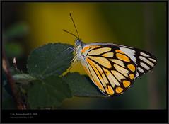 Caper White / Pioneer ?? (Anoop Anand A) Tags: india canon butterfly butterflies kerala 3a 300mm l pioneer anoop ef tamilnadu aaa southindia westernghats munnar 14x butterflyindia chinnar idukki amravati caperwhite 40d canonef300mmf4lisusm anoopaa keralatamilnaduborder canonef14xiiextender canoneos40d canon40d anamalais anoopananda amravathi anoopco wwwanoopco httpwwwanoopco