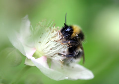White Tailed Bee on Bramble Flower (Jim_Higham) Tags: uk england white black flower nature butterfly kent berry woods europe wildlife tail reserve eu blean east bee tailed bramble coppice kwt