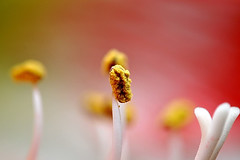 Amarylliss (naruo0720) Tags: plant flower macro nature closeup nikon bokeh amaryllis d300 springflower flowerotica flickrsbest abigfave anawesomeshot theunforgettablepictures goldstaraward macroflowerlovers superbmacroflowers rubyphotographer