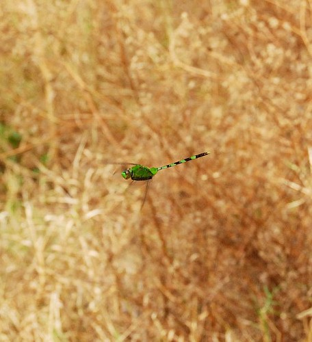 Dragonfly In Flight -- smaller
