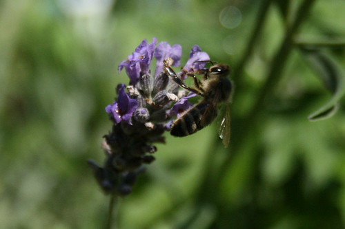 Biene auf Lavendel Juli08