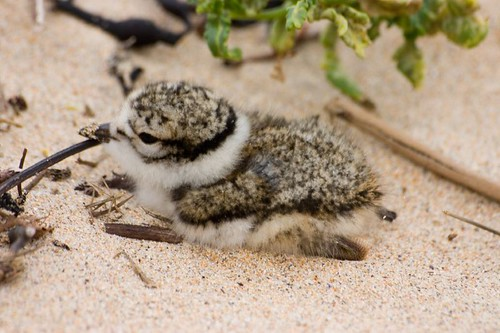 Ringed plover chick 1
