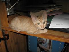 Amber - first digital photos (Hairlover) Tags: pet cats pets public cat kitten tabby kitty kittens kitties hairlover allcatsnopeople
