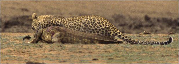 ealeopard118f