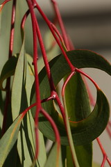 Shapes and colours (kasia-aus) Tags: plant nature leaf australia round canberra 2008 act eucaluptus