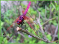 Crimson/Dawn Dropwing (Trithemis aurora)