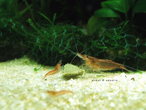 Shrimp3-aug2008