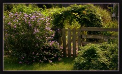 Garden Gate (Canicuss) Tags: wood flowers nature grass fence garden bush vines weeds gate arch purple sony hibiscus slats a100 canicuss