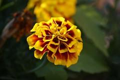 Flower Zoom (merobson) Tags: flower gmt