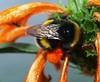 bombo nel polline (CorradoMos @***) Tags: macro nature animals natura fiori cibo animali bombo insetti polline macromarvels auniverseofflowers beautifulmonsters corradomostacchi