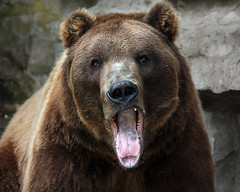You Are Boring Me (Megan Lorenz) Tags: bear animal tongue closeup mammal funny looking watching bored getty openmouth staring soe yawning buffalozoo grizzlybear a