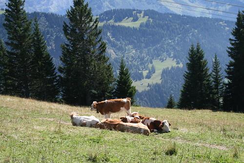 Cow Circle