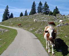 Péage à Mont Tendre (will_cyclist) Tags: cycling switzerland cows biking monttendre juras cowsx