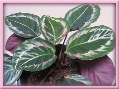 Calathea roseo picta cv. 'Eclipse', in our garden - August 2008