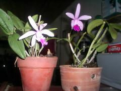 6  8 Duas Catleyas Intermedia ( tipo sei lá) NILGAZZOLA (nilgazzola) Tags: flores de big foto mini ou com orquideas tirada pessoais maquina nilgazzola