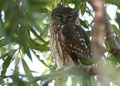 Barking Owl (Greg Miles) Tags: australia kimberley westernaustralia barkingowl ninoxconnivens morningtonwildernesscamp