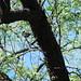 Lowland Painted Redstart Sabino / Bear Canyon IBA April 16 2007 019
