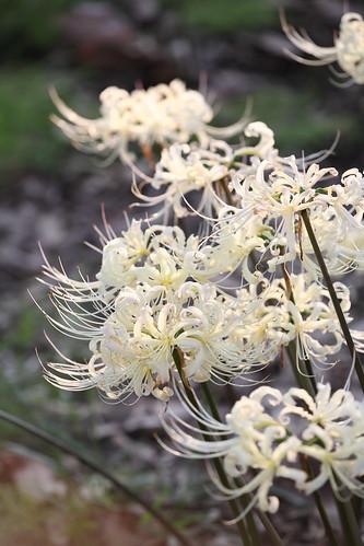 White spider lily!