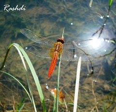 Orange Dragon Fly (Rashdi) Tags: macro photoshop dragonfly pictureperfect cs30 citrit theperfectphotographer capturenx2