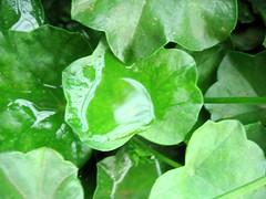 rain water on leaf (~~~~Karthik.S~~~~) Tags: india water rain canon leaf karnataka nationalgeographic oléquebonito