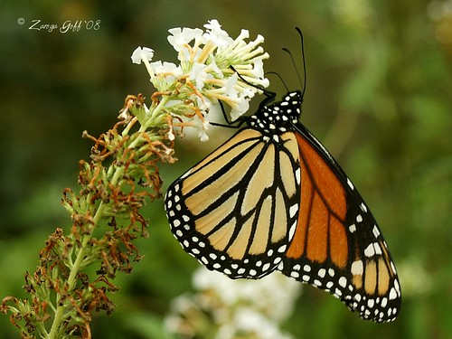 "Monarch Butterfly ""Danaus plexippus"""