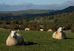 Tea Cosies (M-J Turner) Tags: autumn england sheep lakedistrict cumbria teacosies shap naturesfinest shapabbey onlythebestare goldstaraward rosgill damniwishidtakenthat