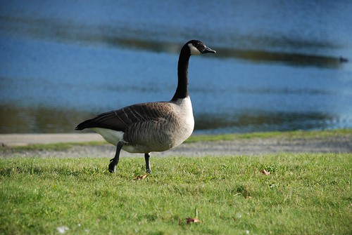 Canadian Goose at Lafarge lake