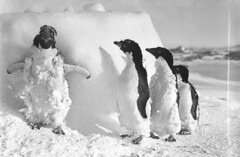Ice cased Adelie penguins after a blizzard at Cape Denison / photograph by Frank Hurley (State Library of New South Wales collection) Tags: shadow bw snow cold cute bird history ice expedition birds animals pinguinos real penguin penguins frozen blackwhite wings eyes funny wind nieve feathers feather meeting antarctica bn hideandseek chick archives moult exploration blizzard pioneer polo soe pinguim hurley nord brrr igloo southpole moulting antarctic brrrr blackdiamond pinguini ghiaccio happyfeet blizzards followtheleader adelie pygoscelisadeliae glassplatenegative wingsspread adeliepenguins ghiacciai antartide fourpenguins esplorazione statelibraryofnewsouthwales halfplate frankhurley frizzled capedenison jamesfrancishurley walkingonsnow captionable taxonomy:binomial=pygoscelisadeliae wwwgobuyvoguecom httpwwwgobuyvoguecom commons:event=commonground2009 vierpinguine 4nice vierpenguins