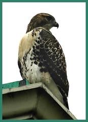 HawkSpy (Jules95GT) Tags: love by work fly hawk inspired perch rest stoop claws birdofprey talons inspiredbylove diamondclassphotographer flickrdiamond