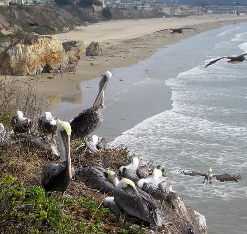 California Brown Pelicans Pismo Beach