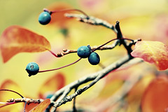 Fall berries (Chaval Brasil) Tags: trees usa abstract tree fall nature fruits boston canon geotagged berry dof unitedstates massachusetts explore crossprocessing ef100macro explored canoneos40d