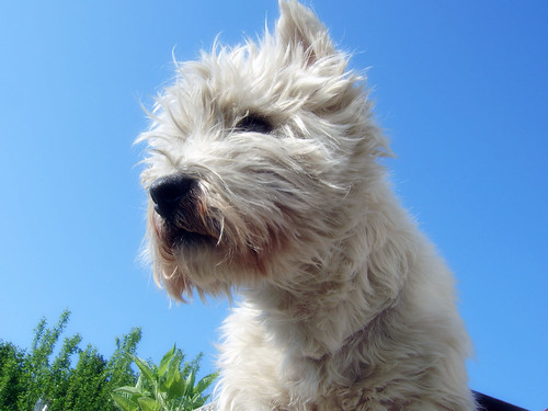 Elton the West Highland White Terrier