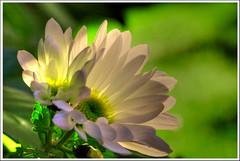 Margarita de otoño (miguelangelortega) Tags: naturaleza flower nikon flor d70s sigma105 naturesfinest ltytr1 theunforgettablepictures