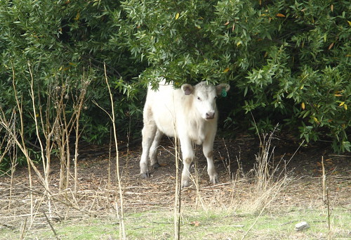 Calf in the woods