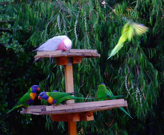 six lorikeets one galah