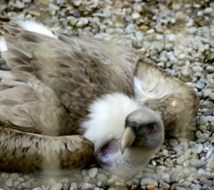Voltor / Griffon Vulture (SBA73) Tags: bird animal grey head beak raptor pico jail angry vulture pajaro bec birdofprey scavenger buitreleonado buitre gyps depredador ocell gypsfulvus gabia griffonvulture cimdaligues carroero santfeliudecodines enfadat voltor plomatge carronyaire ausdepresa