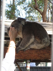IMG_0274 (rushell070) Tags: portmacquarie koalahospital