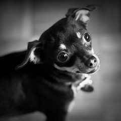 Tia (tappit_01) Tags: thanksgiving family dog chihuahua dogs 50d canon50d